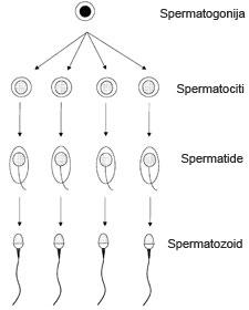 Асперматогенез
